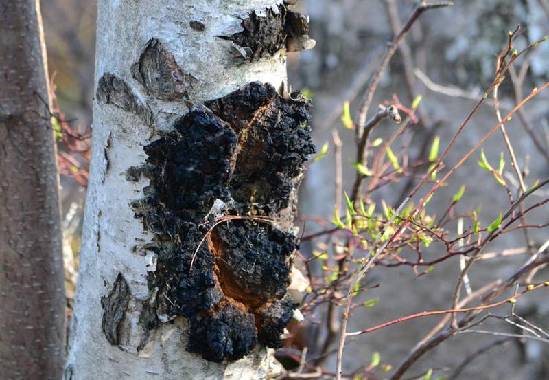 Gljiva ČAGA na drvetu breze
